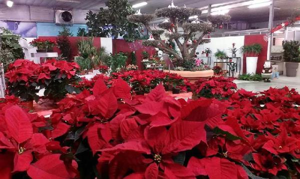 vendita piante natalizie e alberi di natale brescia