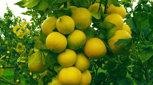 bergamotto, calabria, succhi di frutta, agrumi