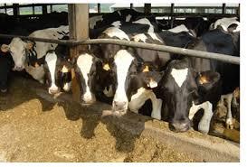 cereali mangimi personalizzati per bovini equini ovini