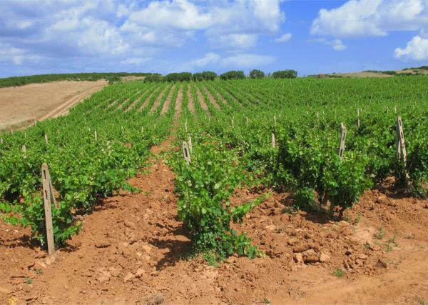 Vinicultura Vinai Pinat a Ruda Udine