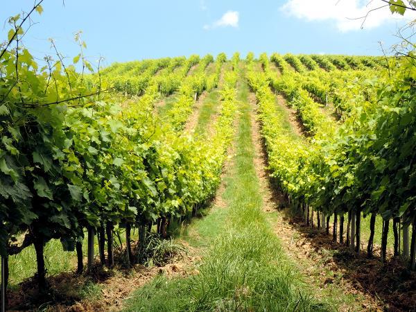 Vini Valmusone Santa Maria Nuova Ancona