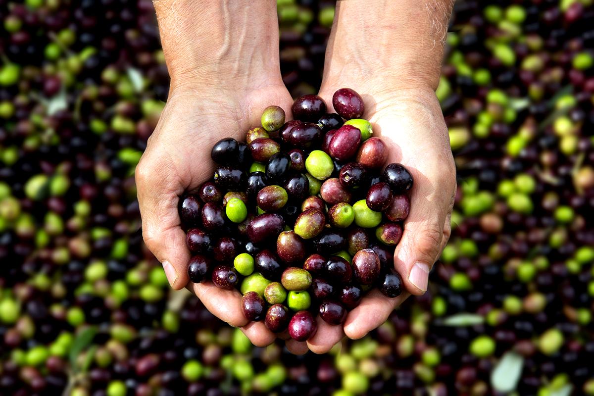 Mani colme di olive