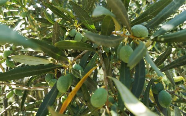Produzione e vendita olio monocultivar carolea in lattina