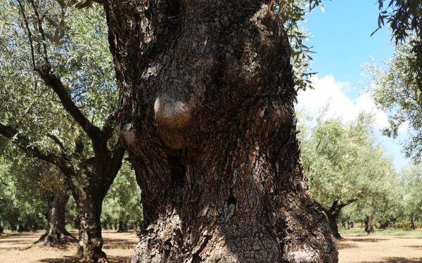 Produzione olio extravergine calabrese