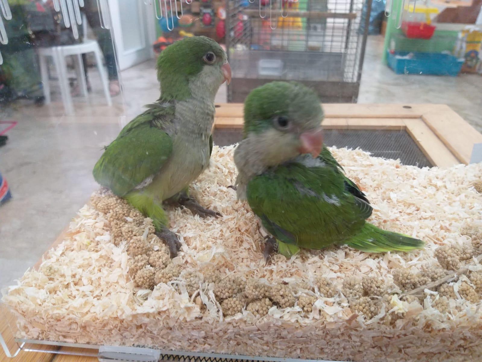 vendita pappagalli Leo Animali Polistena Reggio Calabria
