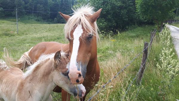Allevamento cavalli vicenza