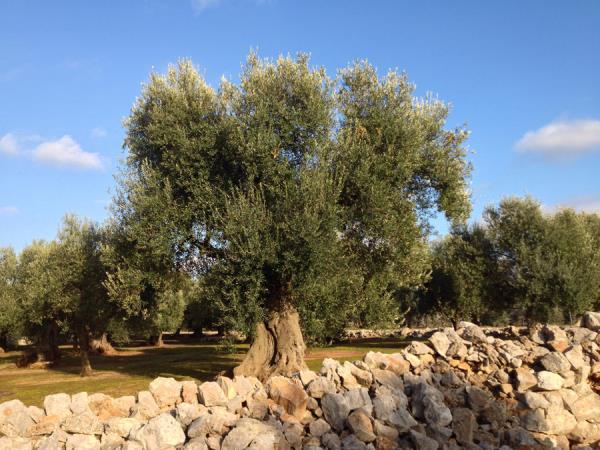 olio extravergine oliva Gialloro