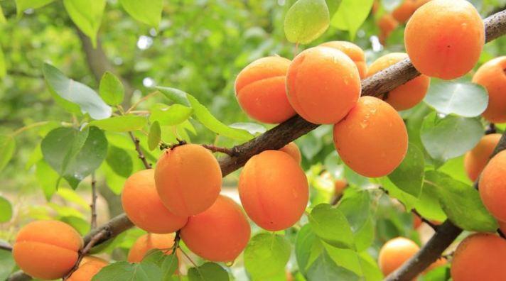 coltivazione albicocche Caltanissetta