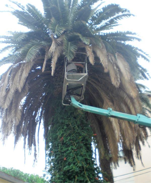 parassita della palma