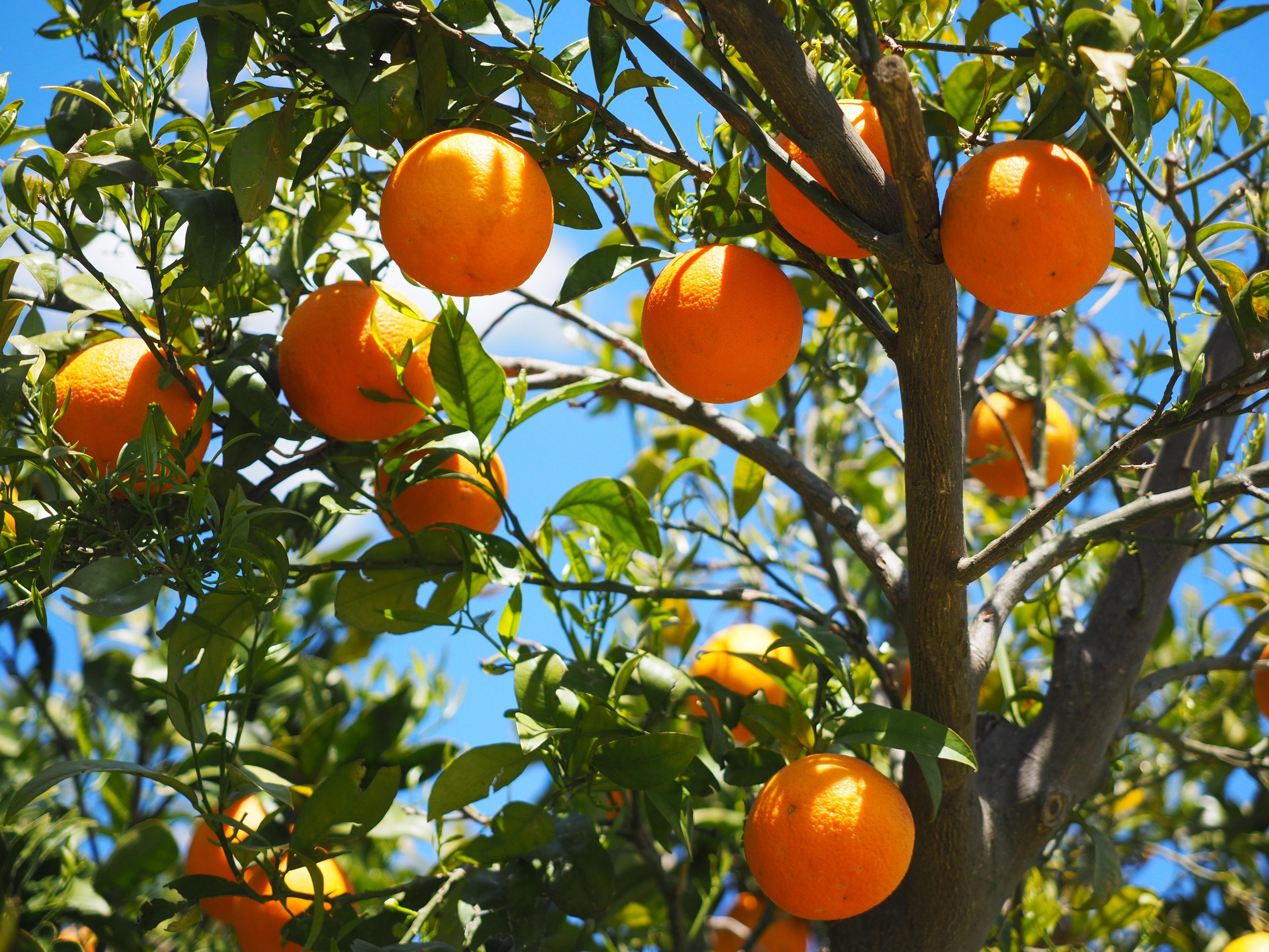 bergamotto, bergamotto di calabria, agrumi, arancia, mandarino, limoni, melograno