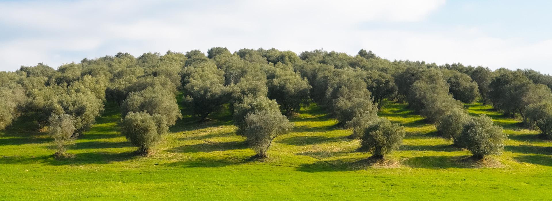 Albero di olive Sansepolcro Arezzo
