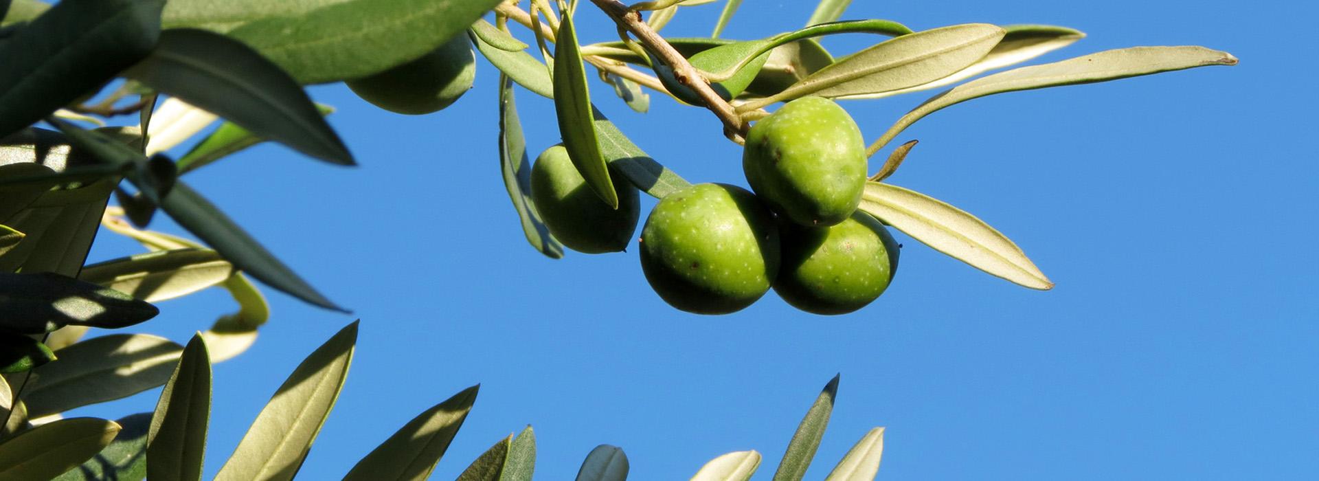 Olive Sansepolcro Arezzo