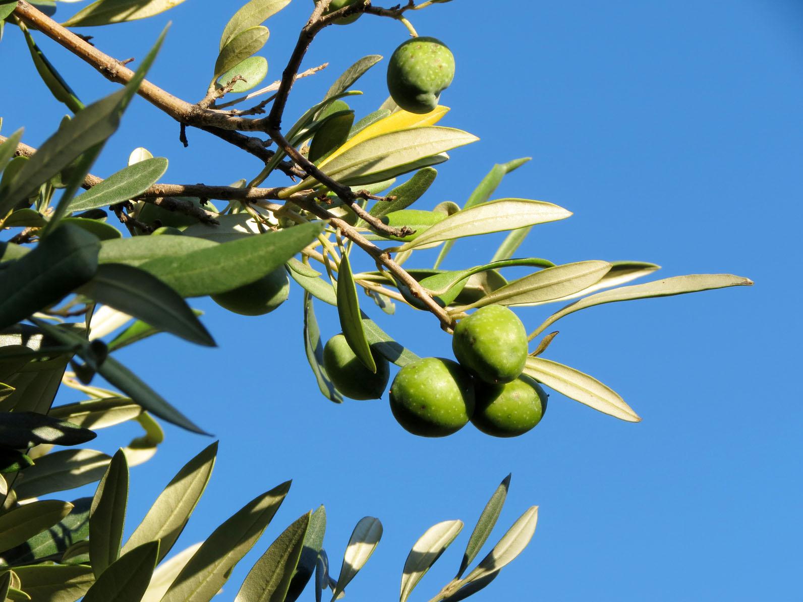 olio di olive di leccino  di coratina a Boncore-Nardò Lecce