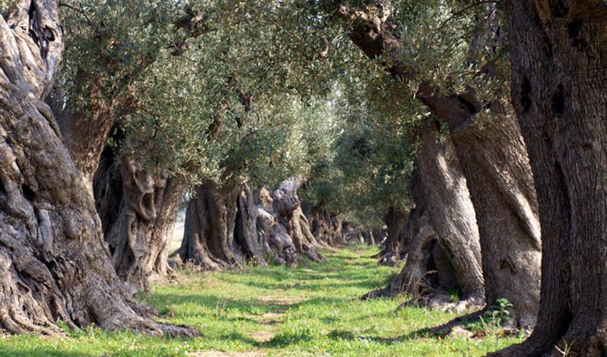 vendita olio extra vergine di oliva a Boncore-Nardò Lecce
