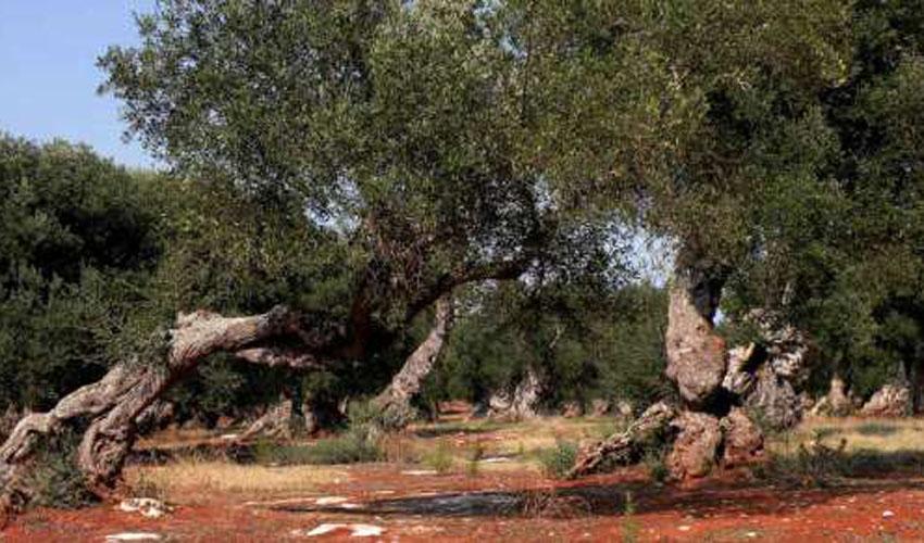 oliveto di cora  a Boncore-Nardò Lecce
