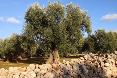 oliveto a Boncore-Nardò Lecce