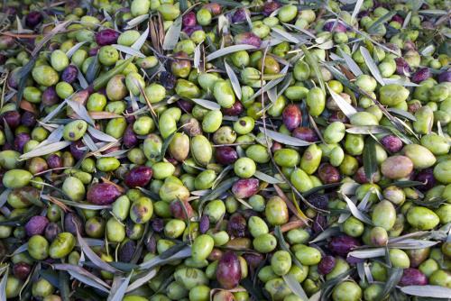Produzione olio extra vergine di Leccino e Coratina a Boncore-Nardò Lecce