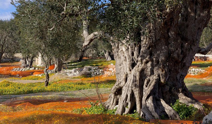 Produzione olio extra vergin a Boncore-Nardò Lecce