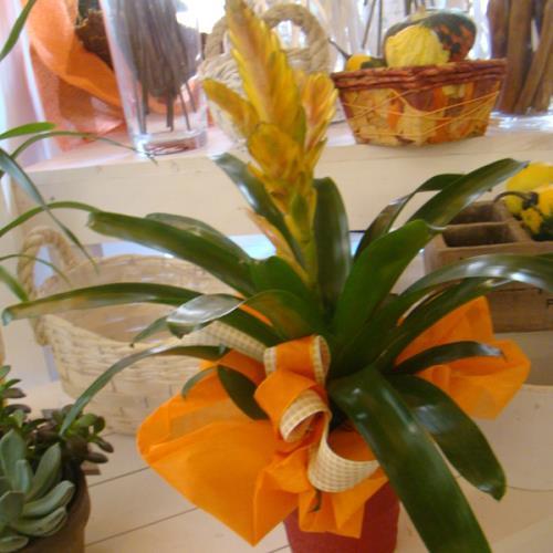Fiore in vasetto tutto Rose e Fiori a Osimo Ancona