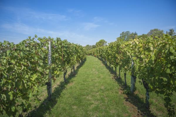 Viticultura Vinai Pinat a Ruda Udine