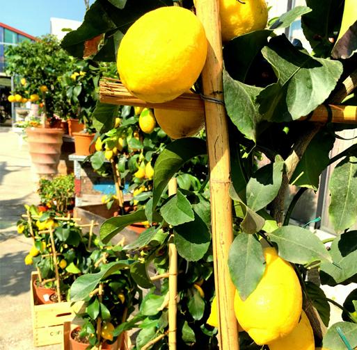 vendita piante e alberi di agrumi bergamo