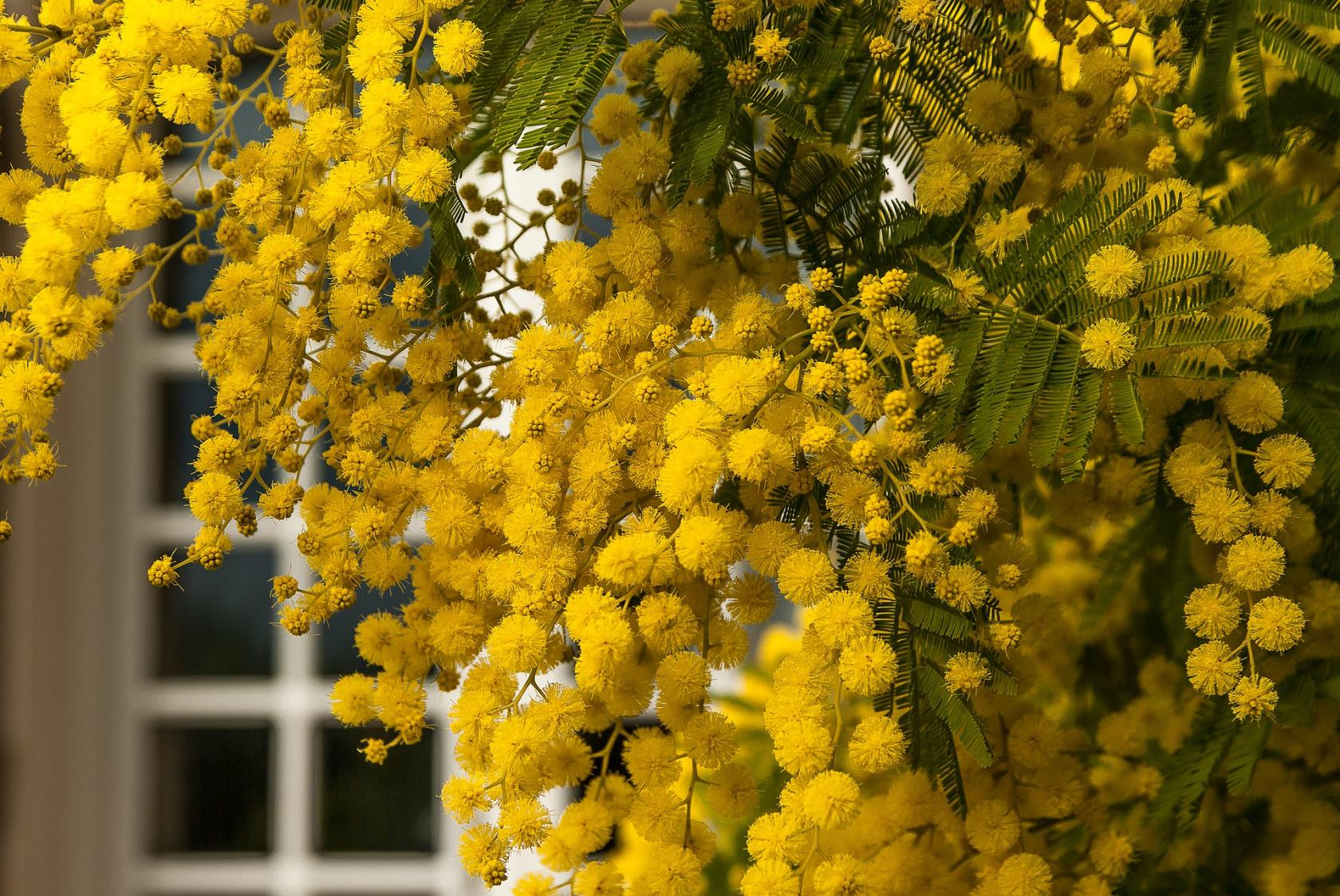 Fiore di Mimosa Bordighera