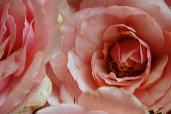 Rose - Allestimento esterno chiesa - Piante e fiori di Antonio D