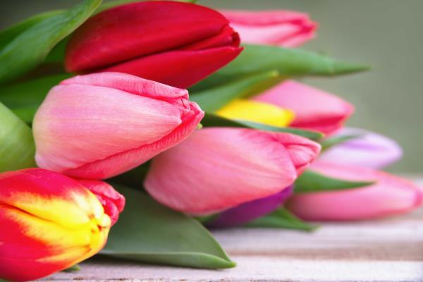 Tulipani - Allestimento esterno chiesa - Piante e fiori di Antonio D
