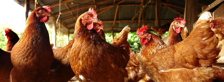 uova da galline allevate a terra Veglie