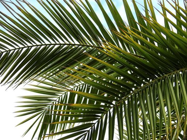 Trattamento delle palme