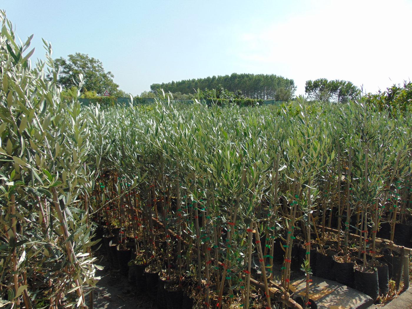 produzione e vendita ulivi lamezia terme