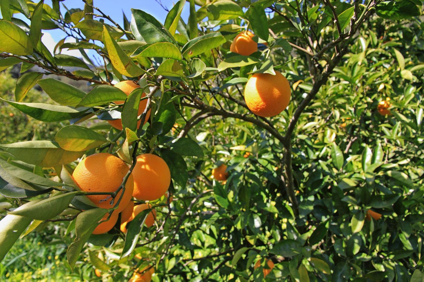 produzione e vendita alberi da frutto lamezia terme