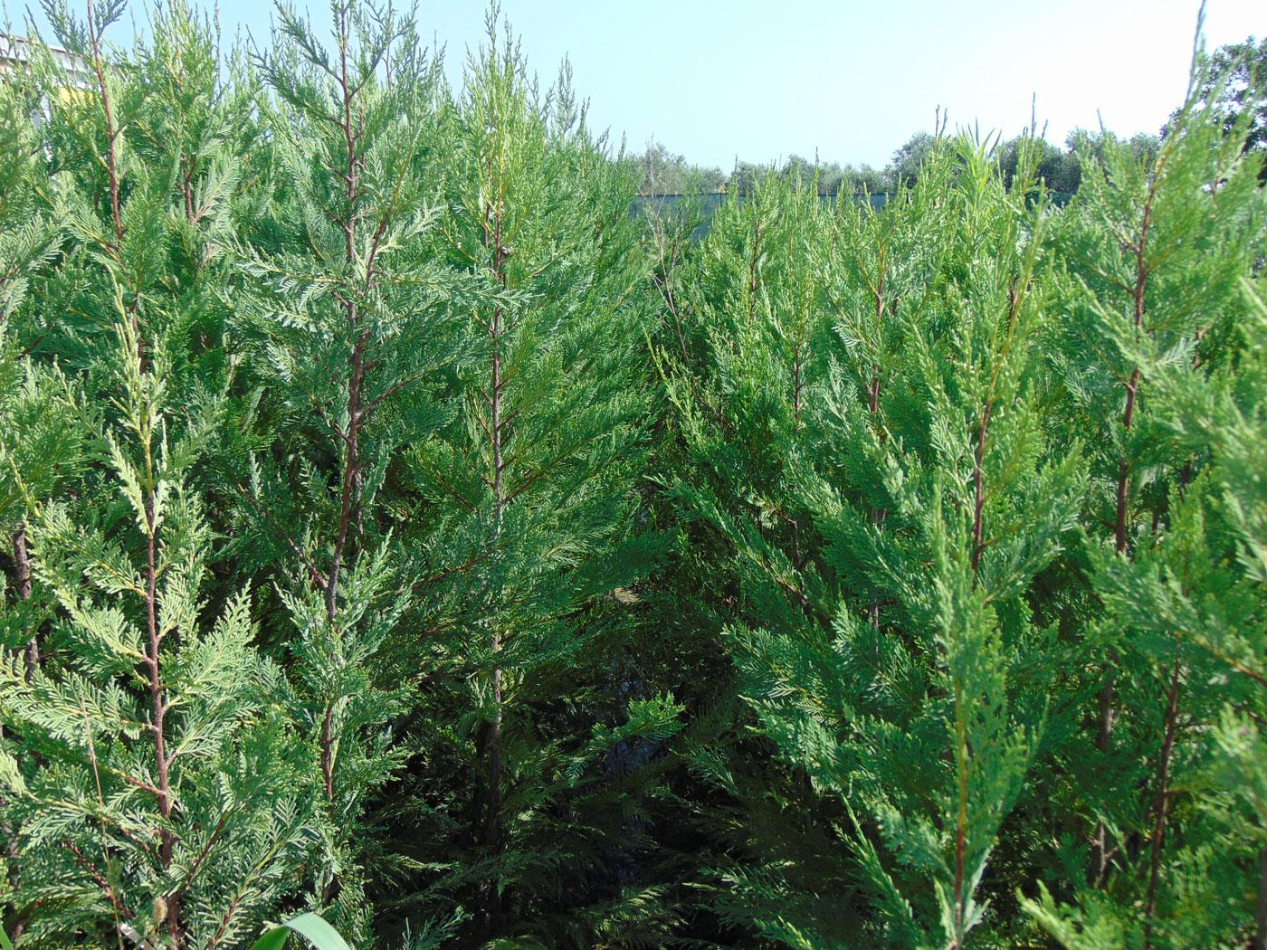 produzione e vendita piante ornamentali e siepi lamezia terme