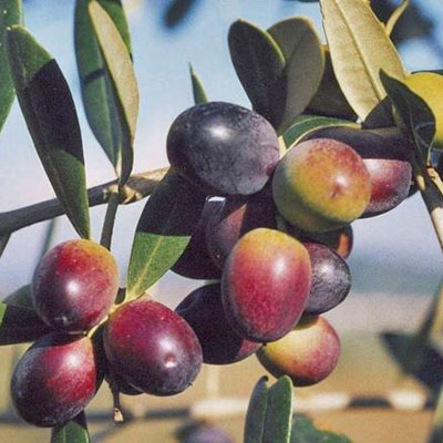 produzione piante di ulivo da talea cultivar leccino lamezia terme