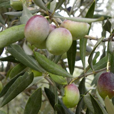 produzione piante di ulivo da talea cultivar carolea lamezia terme