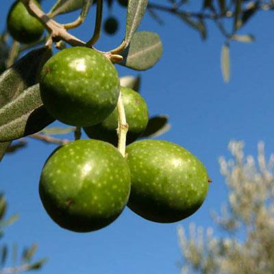produzione piante di ulivo da talea cultivar nocellara messinese lamezia terme