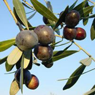 produzione piante di ulivo da talea cultivar pendolino lamezia terme