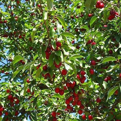 produzione e vendita alberi di ciliegio lamezia terme