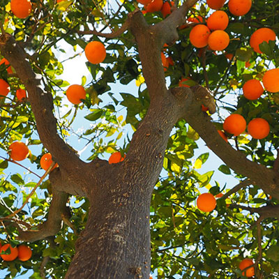 produzione e vendita alberi da agrumi lamezia terme