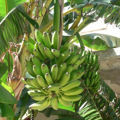 produzione e vendita piante di banano lamezia terme
