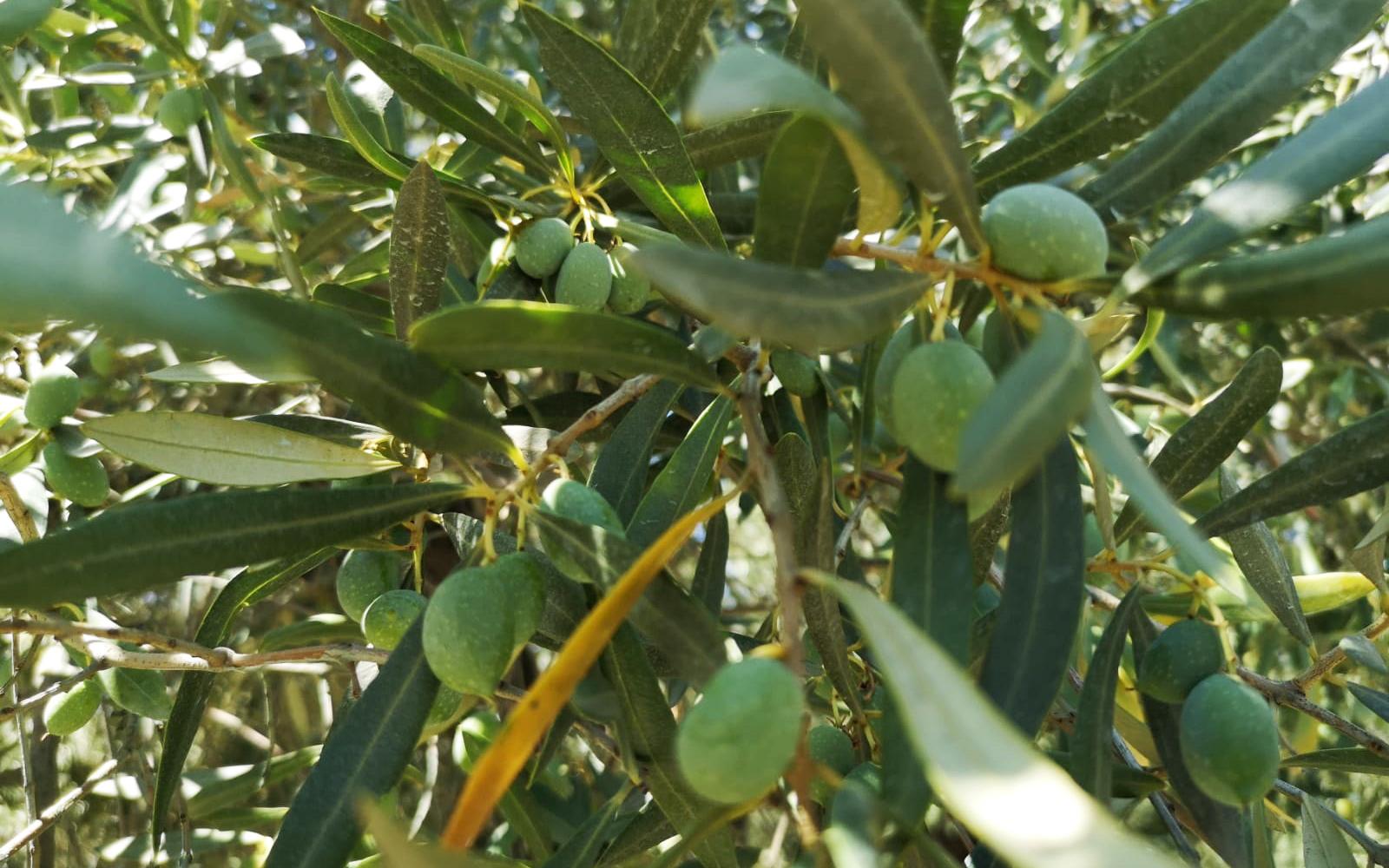 Olio extravergine di oliva Olearia Lametina Vescio