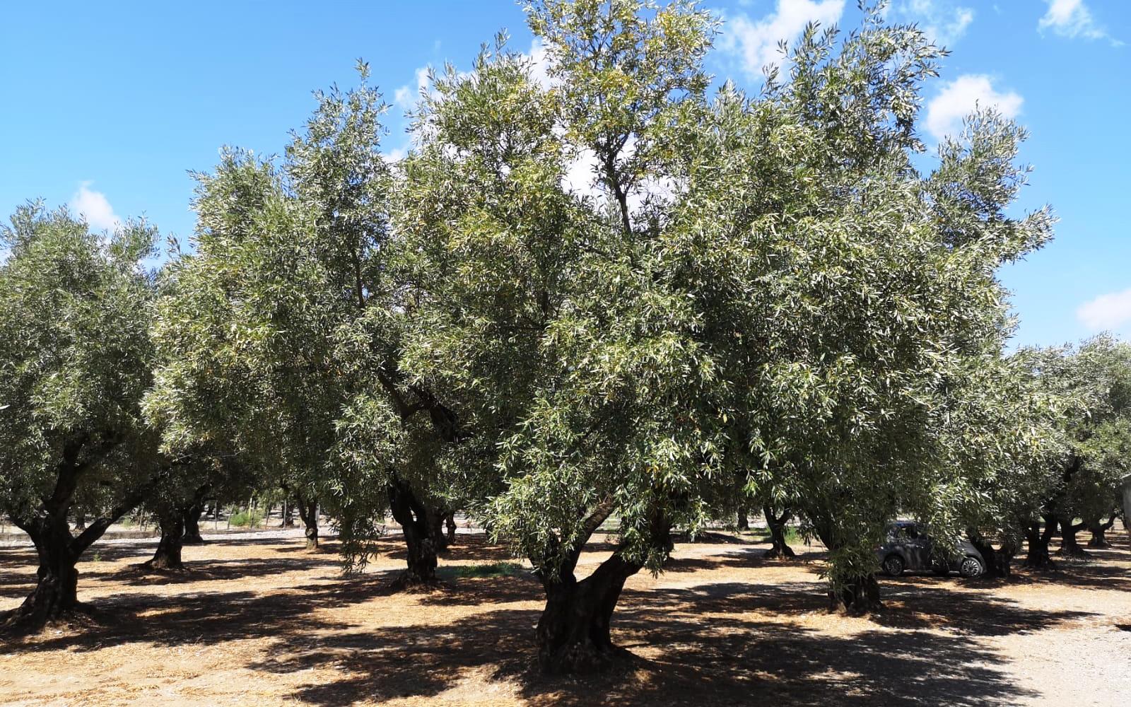 Produzione olio evo calabrese Olearia Lametina Vescio