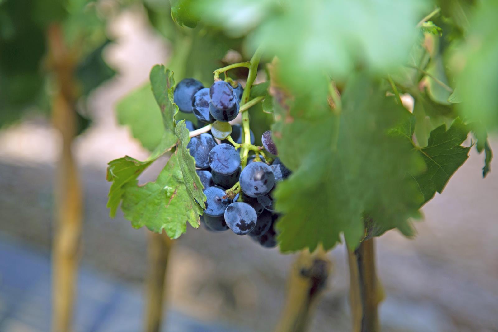 Barbatelle di uve rosse e bianche