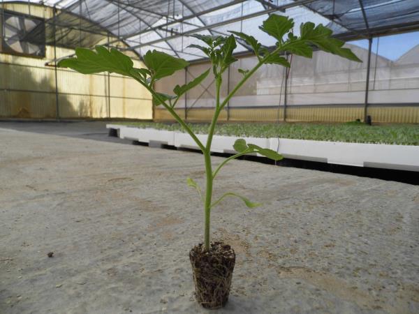 vesna plant ragusa innesto piante