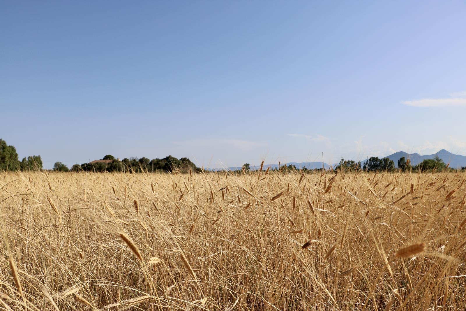 ancient Sardinian grain