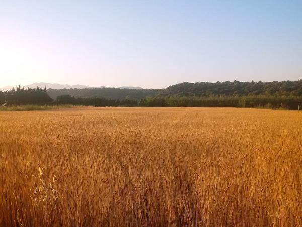 Sardinian wheat farmers