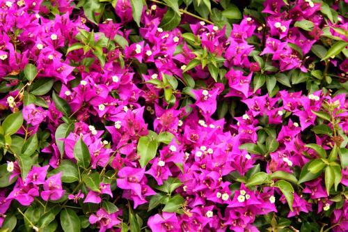cespuglio fiorito