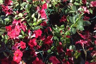 piante rampicanti vivai mari roma nord