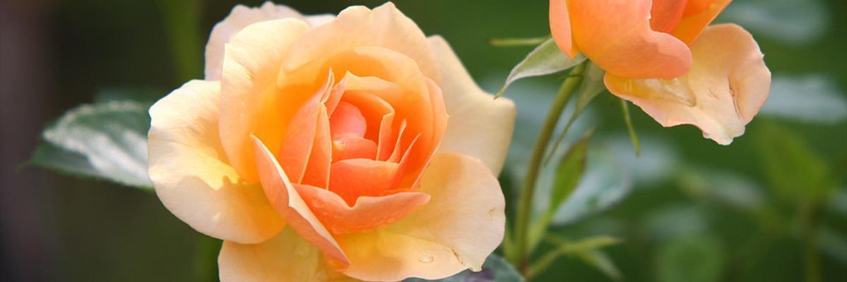 Piante da fiori