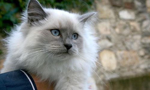 razza gatti Ragdoll